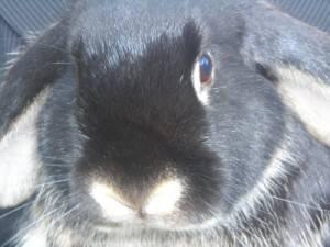 Trampe kanin